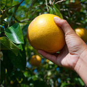 Hand Picked Grapefruit from Bayview, Texas