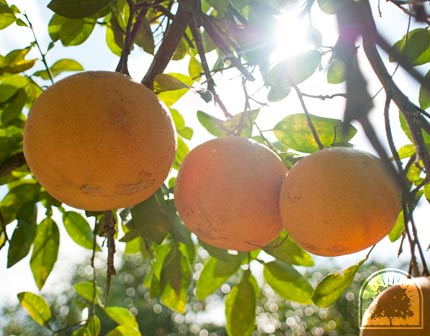 Rio Red Grapefruit Hand Picked in Bayview, Texas